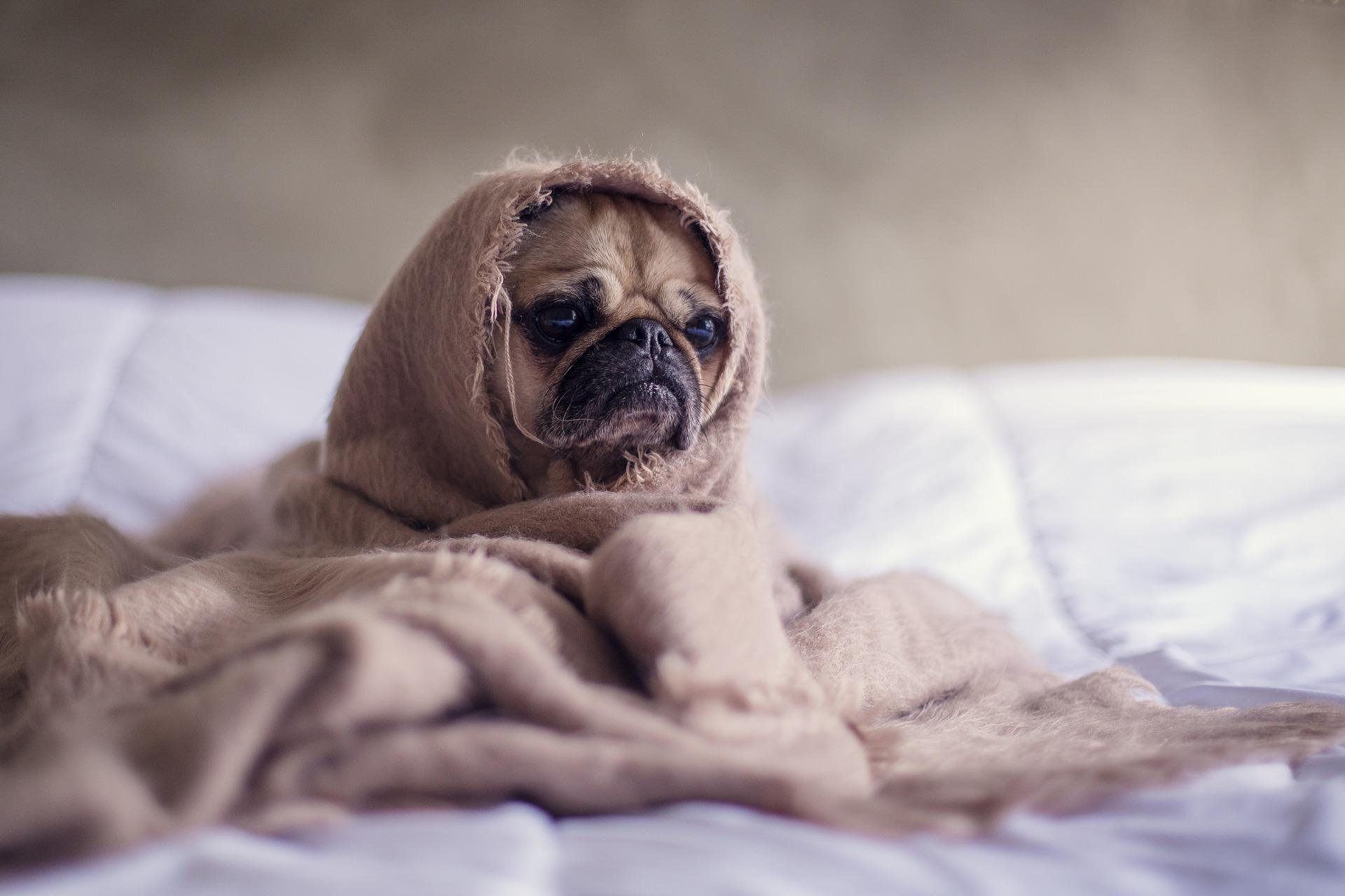 Hund på seng