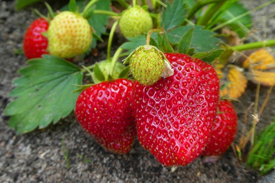 Jordbær, have, køkkenhave, frugter